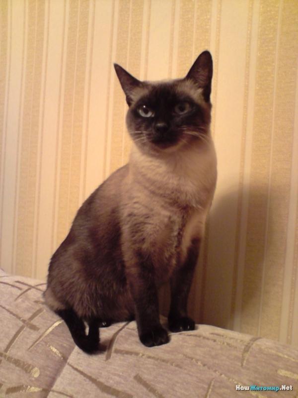 Моя домашняя сиамская кошка Марта